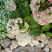 GB 'Rock On' Lamium 'Purple Dragon & sheared Hydrangea 'Pinky Winky'amongst river stone 4